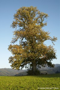 Esskastanie Baum